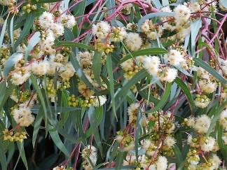 Eucalyptus dives_Bogatyi_IMG_6665 (2)