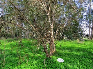 Eucalyptus dumosa IMG_9501 (2)