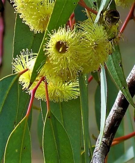 Eucalyptus erythrocorys IMG_0700-001 (5)