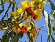 Eucalyptus erythrocorys IMG_9442 (3)