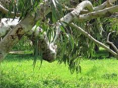 Eucalyptus erythrocorys IMG_9447 (3)