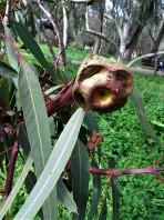 Eucalyptus erythrocorys IMG_9857 (2)