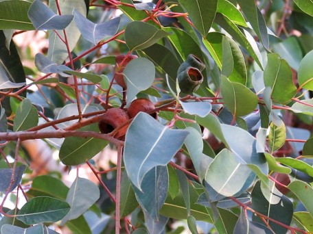 Eucalyptus ficifolia_Corymbia IMG_5352 (2)