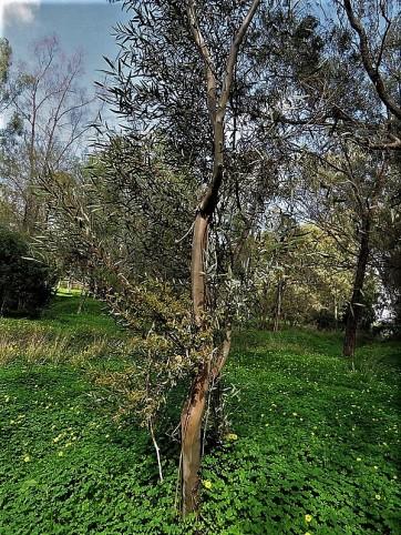 Eucalyptus foecunda IMG_9487 (2)