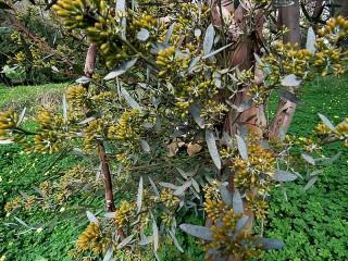 Eucalyptus foecunda IMG_9489 (2)