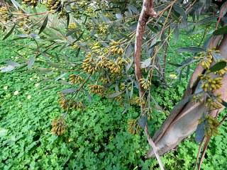 Eucalyptus foecunda IMG_9490