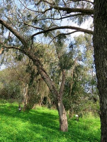 Eucalyptus foecunda IMG_9495-001