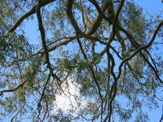 Eucalyptus foecunda IMG_9497 (2)