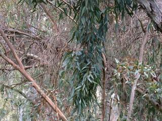 Eucalyptus foecunda IMG_9498 (2)