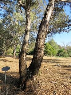Eucalyptus froggattii IMG_5407 (2)