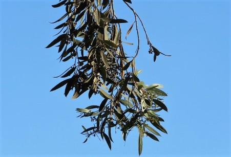 Eucalyptus froggattii IMG_5408-002 (2)