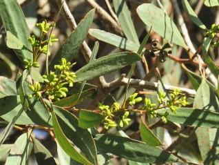 Eucalyptus froggattii IMG_5410-002 (2)