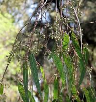 Eucalyptus gardneri IMG_9821 (2)