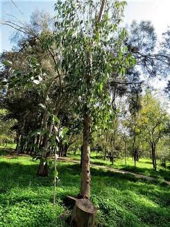 Eucalyptus gardneri IMG_9822 (2)