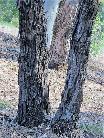 Eucalyptus globulus IMG_5414 (3)