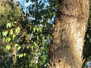 Eucalyptus gomphocephala IMG_5480 (2)