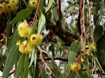 Eucalyptus IMG_0701-001