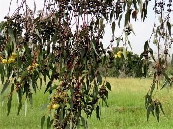 Eucalyptus IMG_0703 (3)