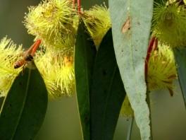 Eucalyptus IMG_0705 (2)