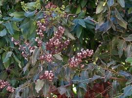 Eucalyptus IMG_0842 (2)