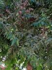 Eucalyptus IMG_0846-001-a