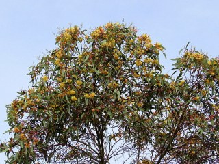 Eucalyptus IMG_0856-001