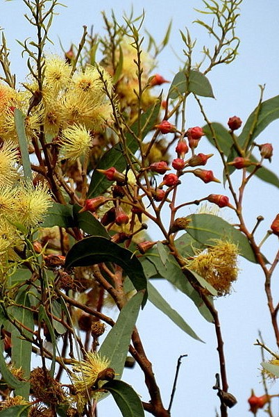 Eucalyptus IMG_0857-002 (2)