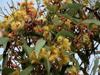 Eucalyptus IMG_0858