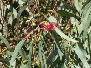 Eucalyptus leucoxylon IMG_9524