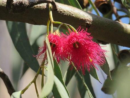 Eucalyptus leucoxylon IMG_9530