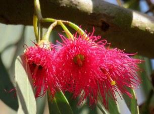 Eucalyptus leucoxylon IMG_9531