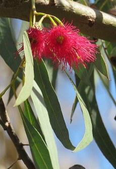 Eucalyptus leucoxylon IMG_9533