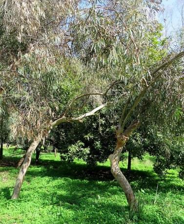 Eucalyptus leucoxylon IMG_9534
