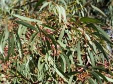 Eucalyptus leucoxylon IMG_9536
