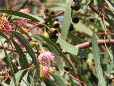 Eucalyptus leucoxylon IMG_9537
