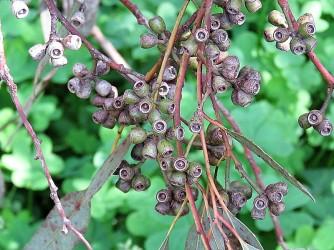 Eucalyptus loxophleba IMG_9507 (2)