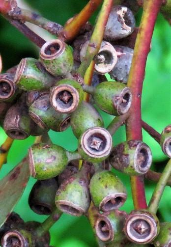 Eucalyptus loxophleba IMG_9508 (2)