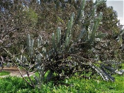 Eucalyptus macrocarpa IMG_9422 (4)