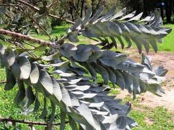 Eucalyptus macrocarpa IMG_9425 (2)