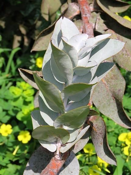 Eucalyptus macrocarpa IMG_9430 (2)