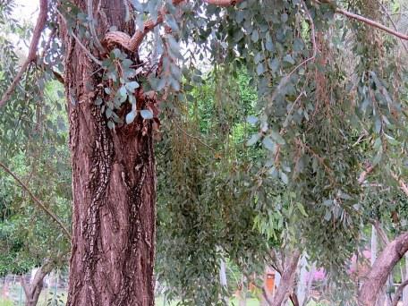 Eucalyptus melanophloia IMG_1913-001