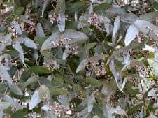 Eucalyptus melanophloia IMG_1915-001