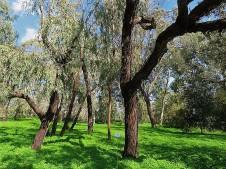 Eucalyptus microtheca IMG_9788 (2)