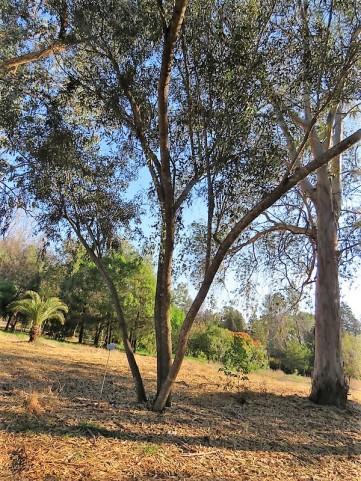 Eucalyptus occidentalis IMG_5415 (2)