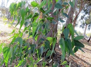 Eucalyptus occidentalis IMG_5418-001 (2)