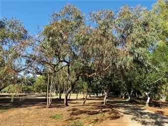 Eucalyptus odorata IMG_5201 (2)