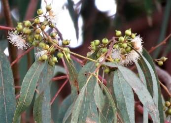 Eucalyptus P-T_IMG_9284 (2)
