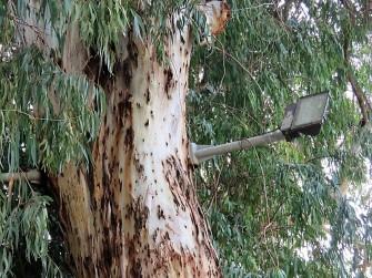 Eucalyptus P-T_IMG_9287 (2)