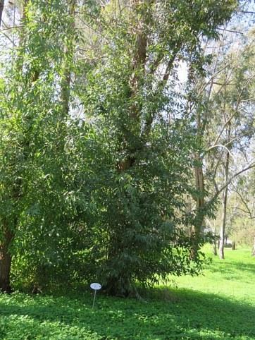 Eucalyptus paniculata IMG_9755