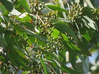 Eucalyptus paniculata IMG_9759